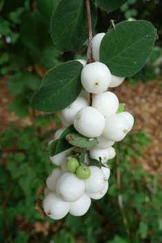 snowberries (also known as waxberries or ghostberries)