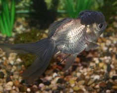 Blue oranda goldfish (looks gunmetal to me, beautiful)