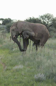 Un éléphant traverse une clôture sans l'abimer