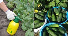 Hoci stále máme zimu, pomaly ale isto sa každý záhradkár pripravuje na ďalšiu sezónu v záhrade. jednou z najčastejšie pestovaných plodín sú uhorky. Celery, Pickles, Cucumber, Zucchini, Vegetables, Food, Diet, Essen, Vegetable Recipes