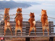 いいね!2,412件、コメント84件 ― 柴犬 永太郎さん(@shiba_ataro)のInstagramアカウント: 「. 記念すべき1000picはやはりこのお気に入りショット♡ . #ごろたろう犬具 #ごろたろうキング #柴スナップ #しばら部 #いぬバカ部 #柴犬 #ふわもこ部 #いぬら部…」