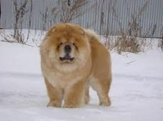 chow chow puppies - Google Search