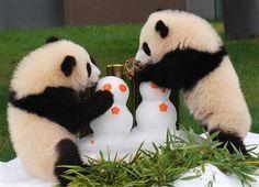プレゼントされた氷の人形や竹のボールで遊ぶ桜浜と桃浜=和歌山県白浜町のアドベンチャーワールド