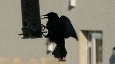 Starling at the feeder.