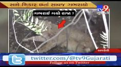 Amazing Video Proved That Lion Is Not The King Of Jungle  Subscribe to Tv9 Gujarati: https://www.youtube.com/tv9gujarati Like us on Facebook at https://www.facebook.com/tv9gujarati Follow us on Twitter at https://twitter.com/Tv9Gujarati Follow us on Dailymotion at http://www.dailymotion.com/GujaratTV9 Circle us on Google+ : https://plus.google.com/+tv9gujarat Follow us on Pinterest at http://www.pinterest.com/tv9gujarati/