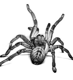 Tarantula by Furryscaly, via Flickr
