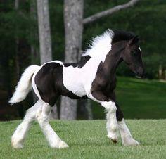 Gypsy Vanner Horse at Stillwater Farm