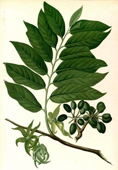 Ylang Ylang or Unona odorantissima comes from the Far East ...
