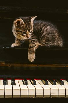 Piano Player, Cats, Animals, Gatos, Animales, Animaux, Animal, Cat, Animais