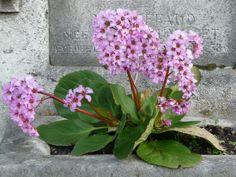 alcea rosea — wikipédia | alcea rosea - commonly known as