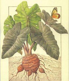 Rizoma tuberoso di Taro e Delias Rosembergi (Area Indo.Pacifica)
