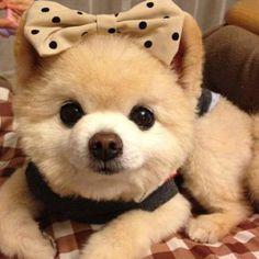 No sé si conozcan a Shunsuke, el perrito idol de los netizens en Japón. Este adorable pomerania se hizo famoso en las redes sociales donde lo subía su dueño posando con adorables atuendos かわいい、ね?o(*'∇')o Cute Dogs And Puppies, Baby Dogs, I Love Dogs, Doggies, Animals And Pets, Funny Animals, Cute Little Animals, Animal Pictures, Dog Pictures