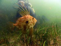 John Dory a beautiful tropical style fish in Irish Waters Fish Anatomy, Anatomy Drawing, John Dory, Ernst Haeckel, Irish Culture, Island Tour, Tropical Style, Weird Creatures, Sea Fishing