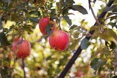Nagano apples 2014