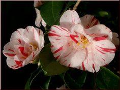 Camellia japonica 'Candy Stripe' (U.S., 1942)