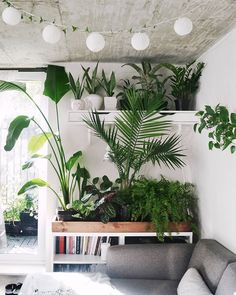 Plant wall update! You can see how it used to look like at #studioplantsshelfie (look at the creeping vine on the lanterns) I neglected the indoors while I was busy gardening outside but now that summer is winding down, I'm upping my houseplant landscape so I can keep the green therapy throughout the winter months. Who else will be going through gardening withdrawal? ✋ #plantshelfie #interiorrewilding #studioplantsindoors