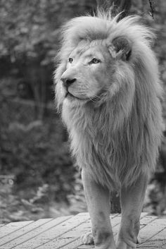 Lion. S)