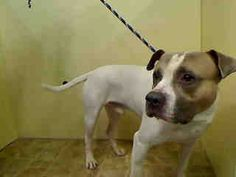 URGENT MANHATTAN - ARTEM – A1033725 - Male White/Brown Pit Bull Mix, 4 Yrs., STRAY - HOLD FOR ID Reason OWNER DIED, Intake Date 04/20/15, Due Out 04/27/15, CAME IN WITH FABIAN A1033724