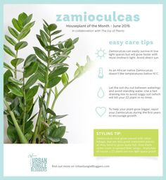 Zamioculcas care tips by Urban Jungle Bloggers