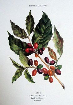 Café Coffea Arabica Album de La Réunion Antoine Roussin