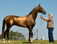 Tarzan the Akhal-Teke, a breed reknowned for the natural metallic boom of its coat.