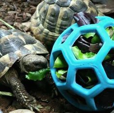 Use a Hol-ee Roller dog toy as a foraging toy for your tortoise! Get a Hol-ee Roller that is a good size for your tortoise. Prepare your tortoise's leafy greens and stuff them into the dog toy. Tortoise Cage, Tortoise House, Tortoise Food, Tortoise Habitat, Sulcata Tortoise, Tortoise Turtle, Tortoise Terrarium, Turtle Care, Pet Turtle