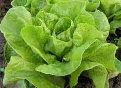 lechuga hojas verdes Lettuce, Vegetables, Food, Snap Peas, Pinto Beans, Green Leaves, Creative Crafts, Veggies, Essen