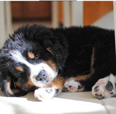 This Bernese Mountain Dog is  just taking a little nap in the sunshine!