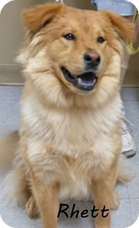 Parma, OH - Golden Retriever/Chow Chow Mix. Meet Rhett a Dog for Adoption.