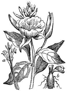 """Evening Primrose: a, flower divested of calyx and corolla, to show the parts or fructification; b, tuberous root. Evening Primrose, Plant Art, Tatting, Rooster, Clip Art, Embroidery, Abstract, Artwork, Flowers"
