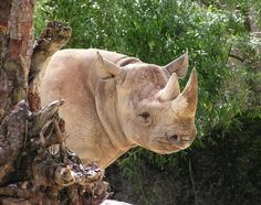 All About Rhinoceros | Small animals, small children, young lives - they are all the same as ...