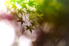 maple leaf by Masaru Kuroda on 500px