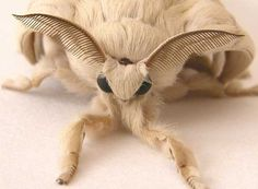 Venezuelan-Poodle-Moth | Viral Gasp