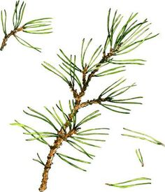 pine branches and pine needles drawing by watercolor, hand drawn vector illustration