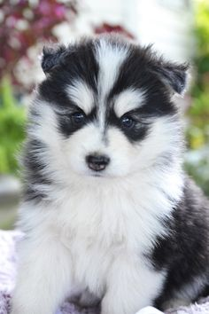 💙😍🐾 Beautiful, #Funloving & spoiled are only a few ways to describe Princess Alice and her siblings with their #Sweet personalities and beautiful #PuppyEyes!! They are #Pomsky bundles full of #PuppyKisses 😘 and wiggles. ▬▬▬▬▬▬▬▬▬▬▬▬▬▬▬▬▬▬▬ #Charming #PinterestPuppies #PuppiesOfPinterest #Puppy #Puppies #Pups #Pup #PuppyLove #Cute #Cuddly #Adorable #ForTheLoveOfADog #MansBestFriend #Dog #Pet #Pets #ChildrenFriendly #PuppyandChildren…