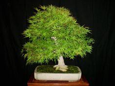 @Raymond Reid some inspiration for you - Bonsai Mountain maple