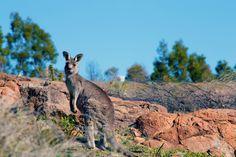 Kangaroo. Mount Stromlo photography trip 2014 ©Gemstone Creative Studio