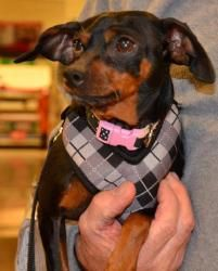 Louise is an #adoptable #MiniaturePinscher Dog in #GlenEllyn, #ILLINOIS. We do not schedule meetings until you have an approved application . If an animal is on our website, it is still available but might ha...