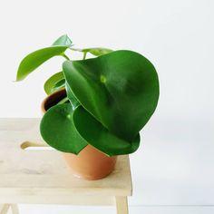 Water Me, Rain Drops, Plant Care, Evergreen, Sunlight, Pots, Plant Leaves, Tropical
