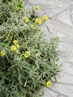 Jerusalem sage (Phloemis fruticosa) is one tough AND lovely Mediterranean shrub. It looks great in this garden tumbling over the edge of the slate paving. Photo – Annette O'Brien for The Design Files.