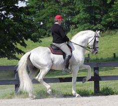 Lusitano-The Lusitano is a Portuguese horse breed, closely related to the Spanish Andalusian horse. Both are sometimes called Iberian horses, as the breeds both developed on the Iberian peninsula, and until the 1960s they were considered one breed, under the Andalusian name.