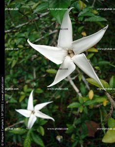 http://www.photaki.com/picture-flowers-randia-formosa_34001.htm
