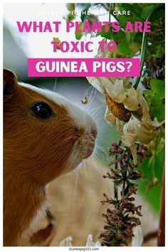 Guinea pigs are foragers by nature and they can savor a wide variety of plants, shrubs, herbs, and more. So, it is crucial to ensure that your yard doesn't have plants that can harm your guinea pigs. Some plants can even be toxic to your guinea pigs. #toxicfoodforguineapigs #toxicplanttoguineapigs #smallpets