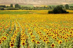 Sunflowers in  Çorum, Turkey photographed by Kobby Dagan