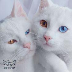 pisici - Omofon7