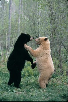 Bears! The white bear is a Kermode Bear, which is a black bear (just like the one on the left), except born white. It isn't albinism, but is more closely related to the genes that cause red hair in humans. Kermode Bears are also called Spirit Bears among Native tribes.