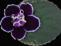 Lyndon Lyon Greenhouses, Inc. has been a worldwide distributor of top-quality African violets and companion plants since Unusual Flowers, Rare Flowers, Purple Flowers, Beautiful Flowers, Perennial Flowering Plants, Herbaceous Perennials, Saintpaulia, Inside Plants, Sweet Violets