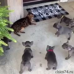 Gang up on Cat Poor kitty! Don't let those pups get away with that! Funny Animal Videos, Cute Funny Animals, Funny Animal Pictures, Animal Memes, Cute Baby Animals, Funny Cute, Animals And Pets, Cute Cats, Wild Animals