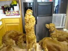 Dogs are so smart sometimes. They get into the darndest things. Check out this video of these golden Retrievers getting ice from the refrigerator ice maker...
