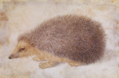 Albrecht Durer, A Hedgehog, before 1584. Watercolor and gouache on parchment. Based on sketches made from life. Nuremberg. Via metmuseum